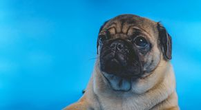 Unny puppy breed pug on a blue background. royalty free stock photo