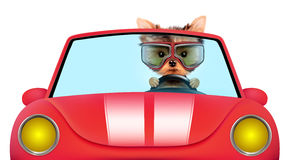 Funny puppy in the cabriolet with aviator goggles. Funny puppy sitting in the red cabriolet with aviator goggles isolated on white background. Car rental and Stock Image