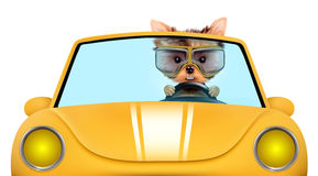 Funny puppy in the cabriolet with aviator goggles. Funny puppy sitting in the yellow cabriolet with aviator goggles isolated on white background. Car rental and Stock Images