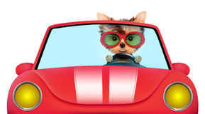 Funny puppy in the cabriolet with sunglasses Stock Photos