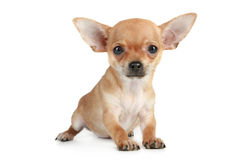 Funny puppy chihuahua Royalty Free Stock Image