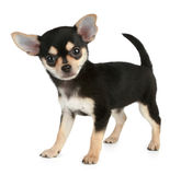Funny puppy Chihuahua (2 months). Stands on a white background Royalty Free Stock Photos