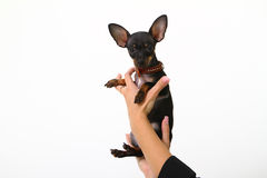Funny puppy chihuahua in female hands isolated on white Stock Photo