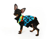 ... stock images of ` Funny Chihuahua puppy poses on a white background