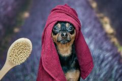 Funny puppy, dog in a towel after bathing. Pretty dog ​​portrait closeup. Concept of adoption of spa procedures, on royalty free stock image