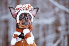 Funny puppy, a dog in a winter hat with pumples in a snowy fores. T. A dog in clothes .. Space for text stock photos