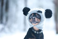 Funny puppy, a dog in a winter hat with pumples in a snowy fores. T. A dog in clothes .. Space for text Royalty Free Stock Photo