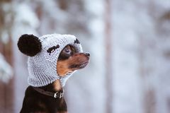 Funny puppy, a dog in a winter hat with pumples in a snowy fores. T. A dog in clothes .. Space for text Stock Image