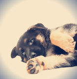 Funny  puppy. A funny German Shepherd puppy Stock Photos