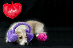 Funny puppy with gifts on Valentine`s Day Royalty Free Stock Images