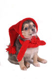 Funny Puppy in Gnome Dressing. Cute Small Puppy Dressed in Funny Gnome Hat and Scarf Royalty Free Stock Image