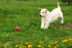 Funny puppy Golden Retriever plays in the summer in the meadow w Royalty Free Stock Photo