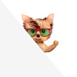 Funny puppy holding empty banner. Funny puppy with sunglasses holding empty banner, isolated on white. Connection and advertising concept. Realistic 3D Stock Photos