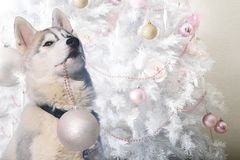 Funny puppy husky helps to decorate the Christmas tree stock photo