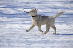 Funny Puppy Husky is a twig. Funny Puppy Husky fun playing in the virgin snow Royalty Free Stock Photography