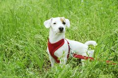 Young small breed dog with funny brown stain on face. Portrait of cute happy jack russel terrier doggy outdoors, walk in the park. royalty free stock photography