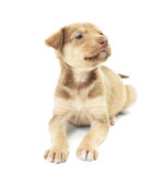 Funny puppy lies Royalty Free Stock Photography
