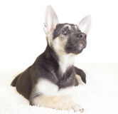 Funny puppy looking up Royalty Free Stock Images