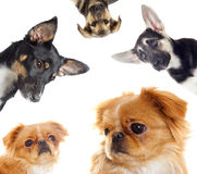 Funny puppy looks Royalty Free Stock Photo