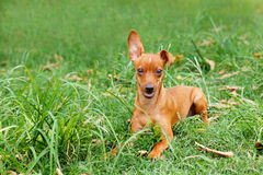 Funny puppy of Miniature Pinscher and pooch playing on green gra Stock Photography