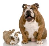 Funny puppy misbehaving. English bulldog adult dog laughing a silly puppy on white background Stock Photos