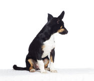 Funny puppy mutts looks aside Royalty Free Stock Image