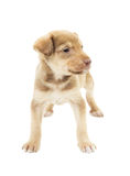 Funny puppy mutts Royalty Free Stock Image