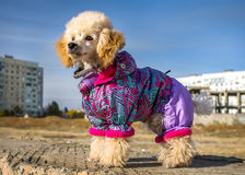 Funny puppy of a poodle dog in clothes on background blurred cit. Funny puppy of a poodle in a suit against the backdrop of urban architecture Royalty Free Stock Photo