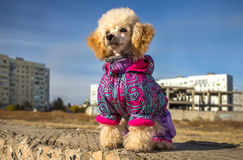 Funny puppy of a poodle in a suit Stock Photo