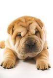 funny puppy sharpei 免版税图库摄影