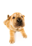 funny puppy sharpei Стоковое Изображение