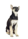 Funny puppy Shepherd looking up Stock Image