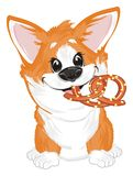Corgi with cookie. Funny puppy sit and hold a large cookie vector illustration