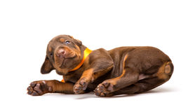 Funny puppy sleeping upside down Stock Photography