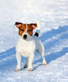 Jack Russell Terrier Posing Outside. Portrait of a white dog with a red head. Royalty Free Stock Photography