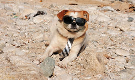 Funny puppy in sunglasses Royalty Free Stock Image