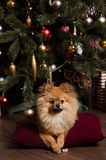 The funny puppy under he Cristmas tree. The funny and little puppy with Cristmas mood Stock Images