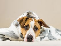 Funny puppy in warm throw blanket rests in bedroom. Young staffordshire terrier dog on couch after bath or shower wrapped in beautiful plaid Stock Photography