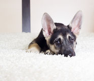 Funny puppy watching Royalty Free Stock Photo