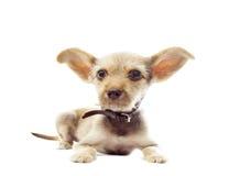 Funny puppy Royalty Free Stock Photos
