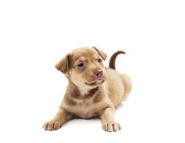 Funny puppy Royalty Free Stock Images