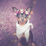 Funny puppy in a wreath of flowers on the background of a lavender field. royalty free stock image