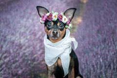 Funny puppy in a wreath of flowers on the background of a lavender field. Romantic image, lady dog, spring summer. stock image
