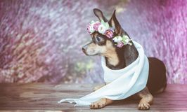 Funny puppy in a wreath of flowers on the background of a lavender field. Romantic image, lady dog, spring summer. stock photography