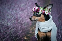 Funny puppy in a wreath of flowers on the background of a lavender field. Romantic image, lady dog, spring summer. royalty free stock images