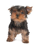 Funny puppy. Of the Yorkshire Terrier isolated on white Stock Photo
