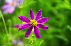 Funny purple flower with yellow pistills. Beutiful blossom of purple flower on morning sun in  spring Stock Photography