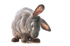 Funny rabbit. Rabbit isolated on white background Royalty Free Stock Photo