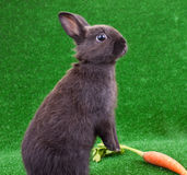 Funny rabbit and carrot Royalty Free Stock Photos