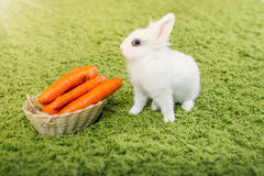 Funny rabbit with a carrots. Funny baby white rabbit with a carrot in velour grass Royalty Free Stock Image
